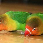 虎皮鸚鵡吃什麼水果比較適合