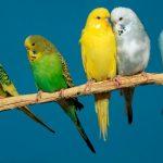 斑紋虎皮鸚鵡的飼養管理