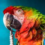鸚鵡怎麼養比較好呢?這邊翔帥寵物生活館介紹最正確的鸚鵡飼養方法