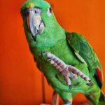 鸚鵡不給剪指甲該怎麼辦呢?翔帥寵物生活館跟你講鸚鵡修剪指甲小方法