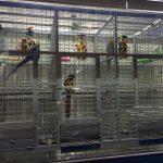要如何選擇合適的鸚鵡籠子呢-翔帥寵物生活館鸚鵡鳥籠推薦