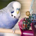 可以在家裡製作五種便宜的鸚鵡玩具