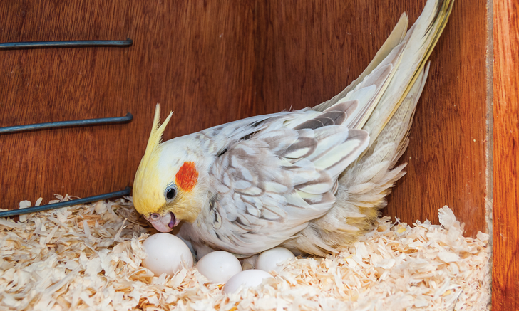 cv_egg-binding-in-pet-birds-28101-article