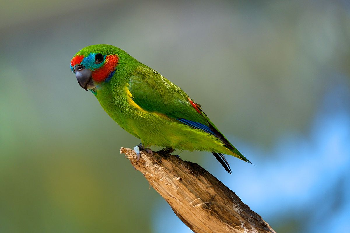 1200px-Cyclopsitta_diophthalma_-Birdworld_Kuranda,_Queensland,_Australia_-male-8a