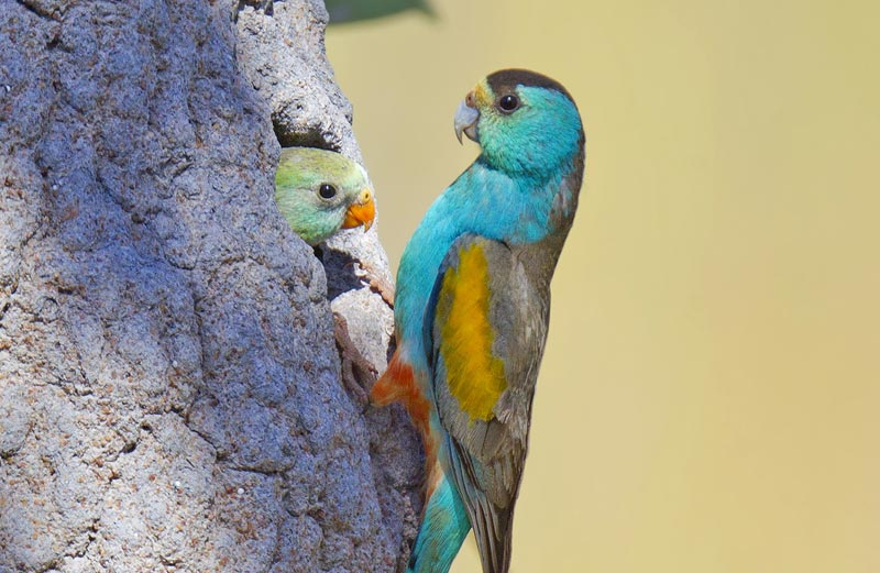 17654-golden-shouldered-parrot