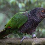 帝王亞馬遜鸚鵡