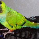黑帽錐尾鸚鵡