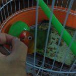 如何教鸚鵡轉圈?讓有15年鸚鵡照顧經驗的翔帥寵物生活館告訴您
