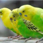 飼養成年虎皮鸚鵡時,我們往往忽略的一些鸚鵡用品