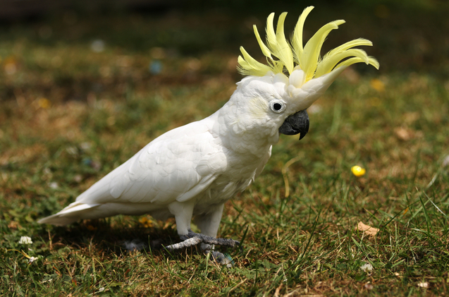 lesser-sulphur-crested-cockatoo