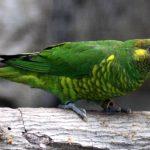 黃綠&麥耶氏吸蜜鸚鵡