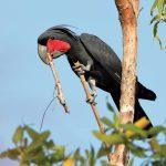 棕櫚巴丹鳳頭鸚鵡