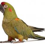 紅額金剛鸚鵡