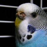 虎皮鸚鵡怎麼照顧 專家不讓您知道的虎皮鸚鵡照顧秘訣