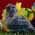 請問台中市哪裡有在賣金剛鸚鵡幼鳥-想買便宜金剛鸚鵡幼鳥朋友看這邊