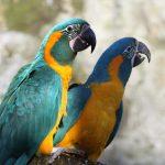 大型鸚鵡語言能力排行榜