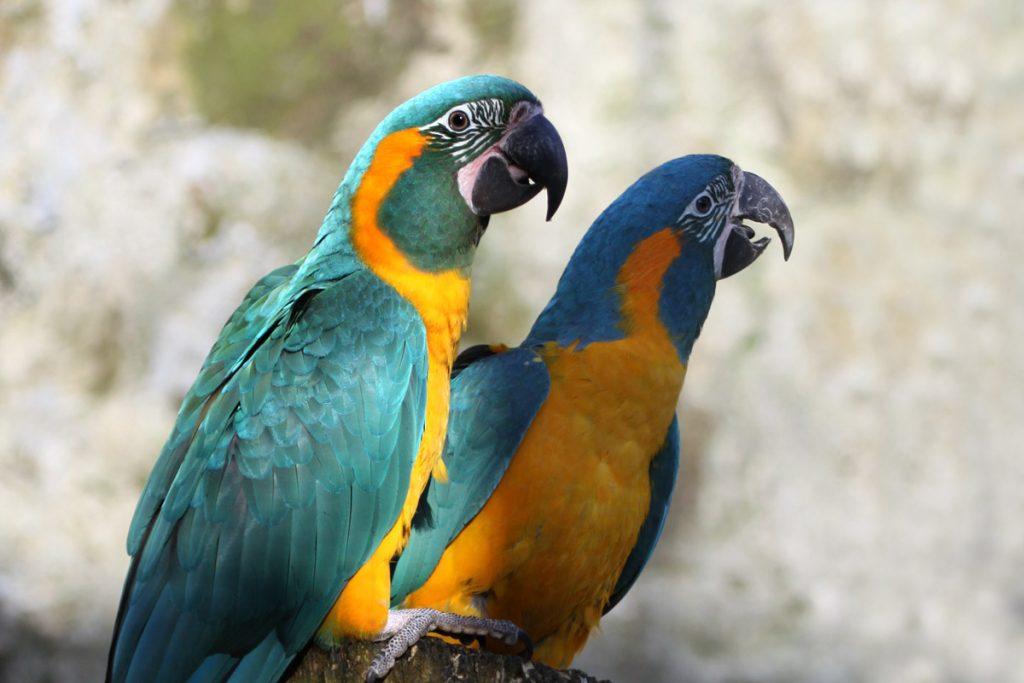 Blue-throated-Macaw-Paradise-Park-Cornwall-3-1-1024×683