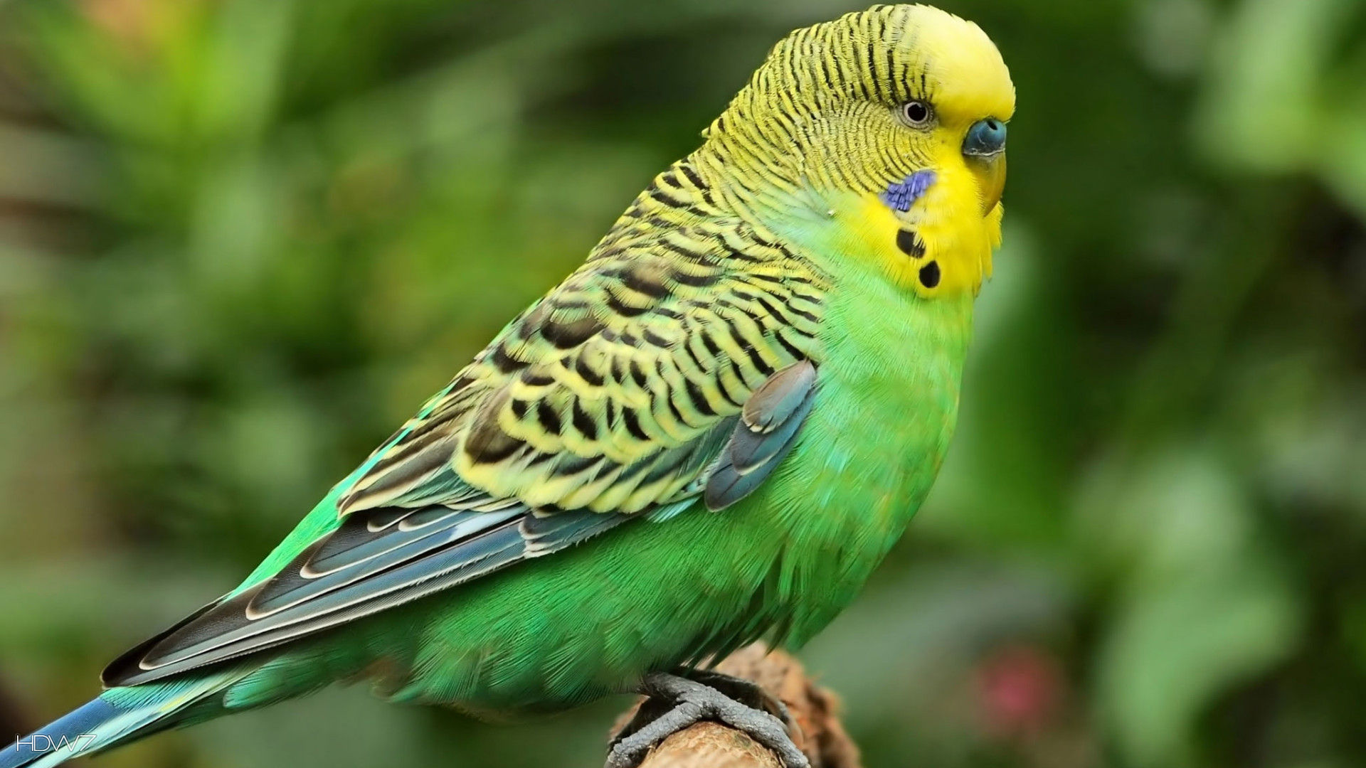 budgie-melopsittacus-undulatus-bird-nice-green