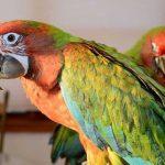 斑點金剛鸚鵡