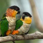 珍貴的黑頭凱克鸚鵡手養資料,喜歡凱克的鳥友們要記得收藏好喔
