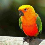 小太陽鸚鵡究竟該怎麼養!讓翔帥寵物生活館的老闆來告訴您