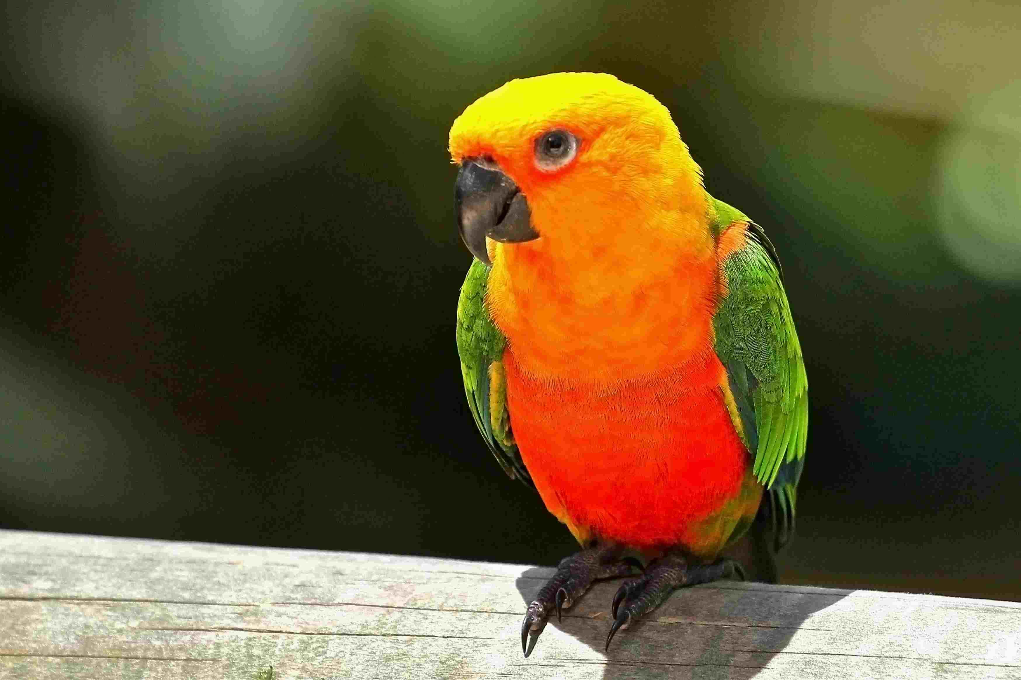 sun-parakeet-in-kuranda-146703443-5b4d5cee46e0fb005bfed7b1