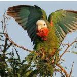 美麗亞馬遜鸚鵡介紹總整理