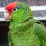 紅冠亞馬遜鸚鵡