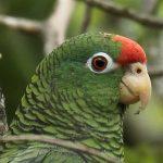 土庫曼亞馬遜鸚鵡
