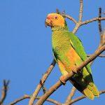黃臉亞馬遜鸚鵡