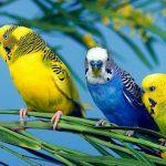 長尾小鸚鵡的行為和聲音意味著什麼