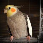 鸚鵡和鳥類寵物的十大家庭危險