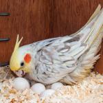 鸚鵡慢性產蛋症候群|翔帥寵物生活館鸚鵡健康談