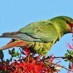 尖嘴錐尾鸚鵡