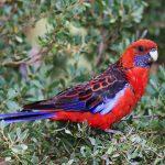 深紅玫瑰鸚鵡