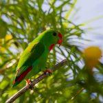 菲律賓短尾鸚鵡