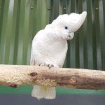 杜柯波氏鳳頭鸚鵡