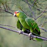紅額亞馬遜鸚鵡