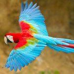 綠翅金剛鸚鵡