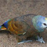 聖文生亞馬遜鸚鵡