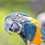 藍喉金剛鸚鵡