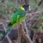 林肯港鸚鵡