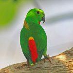 藍冠錐尾鸚鵡
