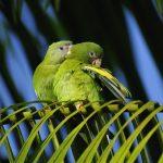 黃翅鸚鵡和白翅鸚鵡