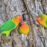 手養虎皮或牡丹鸚鵡怎麼相處可以盡快上手?認識牡丹鸚鵡及虎皮鸚鵡飼養常識分享