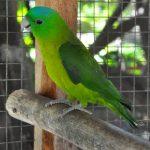 藍冠扇尾鸚鵡