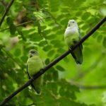 馬達加斯加愛情鳥