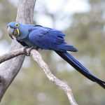 藍紫金剛鸚鵡
