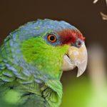 紫冠亞馬遜鸚鵡