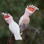 米契爾少校鳳頭鸚鵡